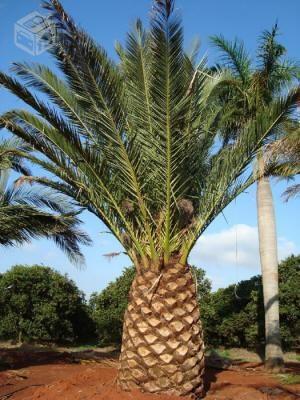 palmeira canariense onde comprar