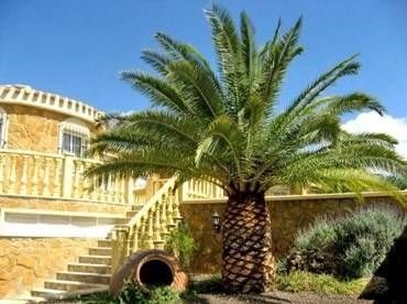 palmeira canariense preco
